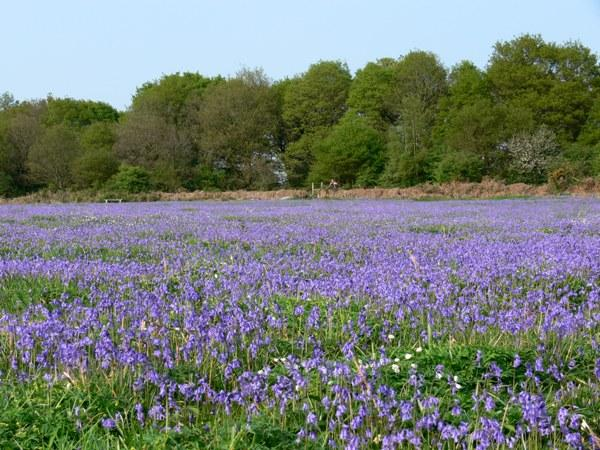 Bluebells on Ditchling Common